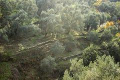 La luz del sol hermosa cae en los olivos en la colina en el otoño foto de archivo