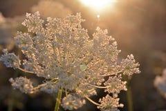 la luz del sol illumines la flor blanca, milenrama foto de archivo