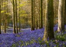 La luz del sol ilumina el bosque pacífico de la campanilla Imágenes de archivo libres de regalías