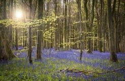 La luz del sol ilumina el bosque pacífico de la campanilla Imagen de archivo