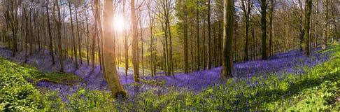 La luz del sol ilumina el bosque pacífico de la campanilla Fotos de archivo libres de regalías