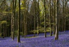 La luz del sol ilumina el bosque pacífico de la campanilla Fotos de archivo