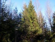 La luz del sol ilumina los tops de los árboles Fotos de archivo libres de regalías