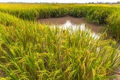 La luz del sol por la mañana brilla abajo a los campos del arroz Imagenes de archivo