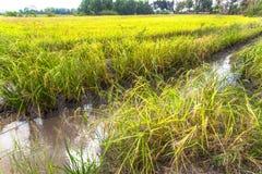 La luz del sol por la mañana brilla abajo a los campos del arroz Fotografía de archivo libre de regalías