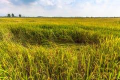 La luz del sol por la mañana brilla abajo a los campos del arroz Fotos de archivo