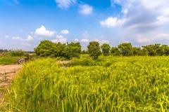 La luz del sol por la mañana brilla abajo a los campos del arroz Fotos de archivo libres de regalías