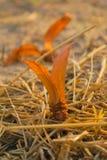 La luz del sol suave del foco brilla el arroz moreno de goma anaranjado Foto de archivo