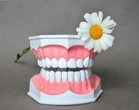 La mâchoire et la marguerite dentaires fleurissent, photo de célébration de jour de daentist Photos stock