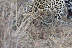 La mère de léopard s'inquiète de son petit animal en recueillant l'obscurité Image stock