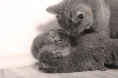 La mère des Anglais Shorthair étreint ses chatons Photo stock