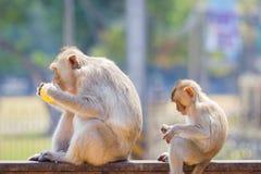 La mère et le bébé monkey manger du maïs frais sur une barrière rouillée, vont le faire Photographie stock
