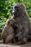 La mère olive de babouin soigne des jeunes sur le mur image libre de droits