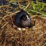 La mère que la foulque maroule couve sur son nid, un jeune est déjà venue images stock
