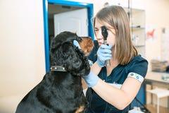 La médecine, le soin des animaux familiers et le concept de personnes - chien et docteur de vétérinaire à la clinique de vétérina Photo libre de droits