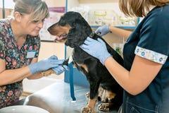 La médecine, le soin des animaux familiers et le concept de personnes - chien et docteur de vétérinaire à la clinique de vétérina Image stock