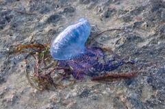 La méduse bleue est jetée à terre avec des algues Photos stock