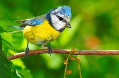 La mésange bleue (caeruleus de Cyanistes). Photographie stock libre de droits
