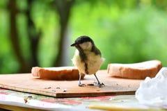 la mésange bleue mange des graines dans le support de fourrage images stock