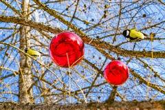 La mésange d'oiseau se repose sur une colonne en métal contre le ciel et des branches de mélèze, décorées des boules en verre rou photo libre de droits