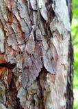 La mímica de la halcón-polilla del pino en un árbol imagen de archivo libre de regalías