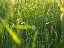 La mañana brilla en la hierba Imagen de archivo