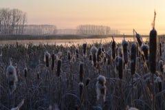La mañana escarchada temprana Las cañas por el río Fotografía de archivo libre de regalías