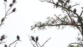 La mañana fría de los estorninos se sienta en las ramas secas almacen de metraje de vídeo