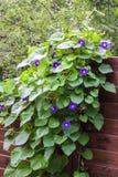 La mañana Glory Ipomoea florece la cerca de madera ascendente de la guita Foto de archivo libre de regalías