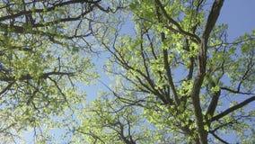 La macchina fotografica muove l'eliminazione da sotto un boschetto delle querce con il giovane fogliame di verde della molla cont archivi video