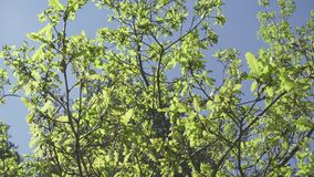 La macchina fotografica muove l'eliminazione da sotto un boschetto delle querce con il giovane fogliame di verde della molla cont stock footage