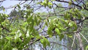 La macchina fotografica muove l'eliminazione da sotto un boschetto delle querce con il giovane fogliame di verde della molla cont video d archivio