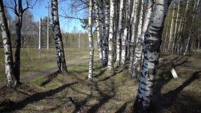 La macchina fotografica si muove attraverso i tronchi bianchi delle betulle nel legno video d archivio