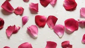 La macchina fotografica si muove lungo i petali di rose fresche su fondo bianco video d archivio
