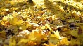 La macchina fotografica si sposta per le foglie di autunno che si trovano sulla terra in sole con lo spazio della copia archivi video