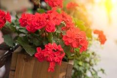 La maceta con las flores rojas cuelga en la calle Imagen de archivo libre de regalías