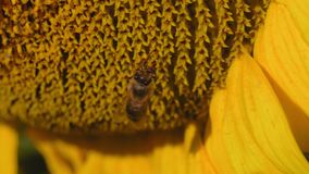 La macro, abeja se sienta en una flor de una madrugada joven del girasol y del lavado almacen de video