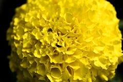 La macro alta qualit? della carta da parati del fondo del fiore giallo del tagete stampa 50,6 prodotti di Megapixels immagine stock libera da diritti