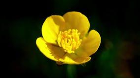 La macro amarilla de la flor se sacude por el viento en el fondo de la hierba verde puesto en contraste almacen de video