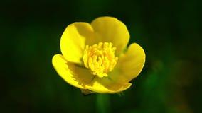 La macro amarilla de la flor se sacude por el viento en el fondo de la hierba verde puesto en contraste metrajes