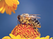 La macro ape dell'insetto raccoglie il polline su un fiore (fuoco selettivo) Immagine Stock Libera da Diritti