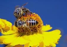 La macro ape dell'insetto raccoglie il polline su un fiore (fuoco selettivo) Fotografia Stock