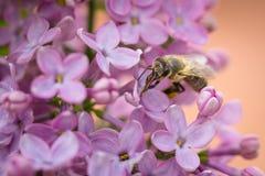 La macro cercana para arriba de la abeja que recoge el polen en lila florece Imagen de archivo