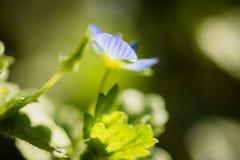 La macro cercana para arriba de la flor púrpura minúscula hermosa en prado verde empañó el fondo Imagenes de archivo
