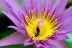 La macro de la abeja recoge el polen amarillo de loto púrpura imagen de archivo libre de regalías