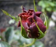 La macro de color rosa oscuro subió floreciendo con el insecto Fotografía de archivo libre de regalías