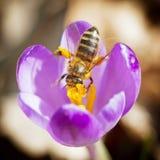 La macro de la abeja poliniza el azafrán Foto de archivo