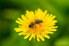 La macro de la abeja poliniza el diente de león Fotos de archivo