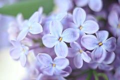 La macro de la lila florece la flor grande Imagen de archivo