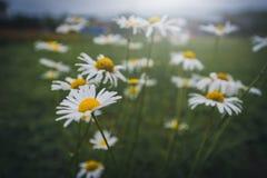 La macro de la margarita blanca hermosa florece en jardín Focu selectivo fotografía de archivo libre de regalías
